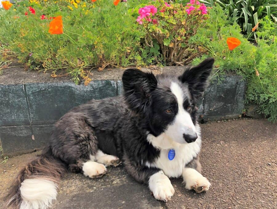 Gogi the corgi sitting in garden with flowers in the background