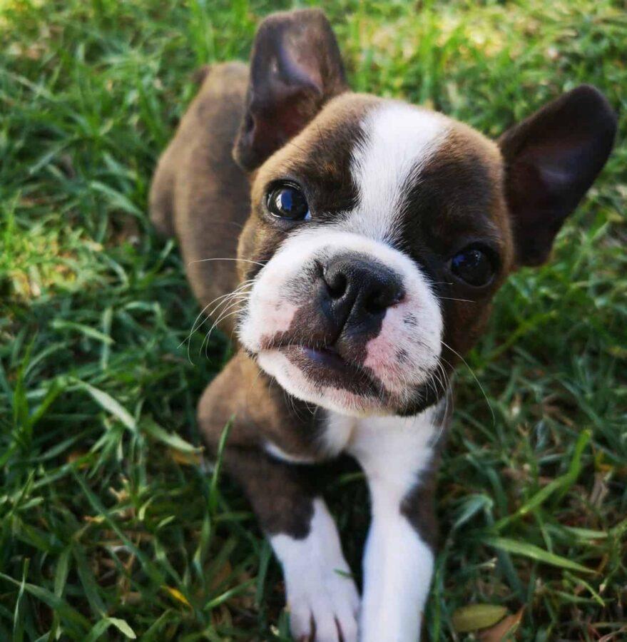 Boston Terrier puppy sitting on grass