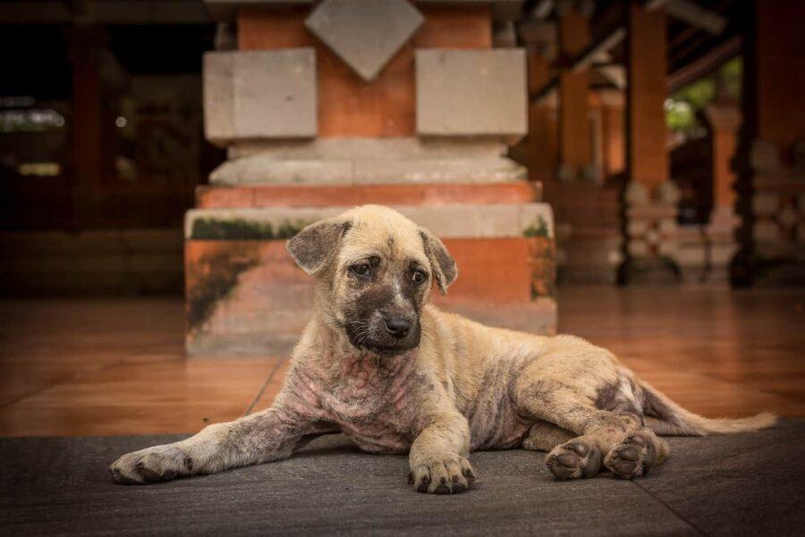 Sick-looking brindle puppy