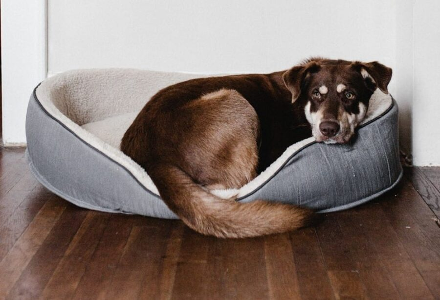 Brown dog resting on pet bed