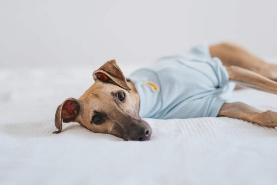 Dog in sweater lying on bed