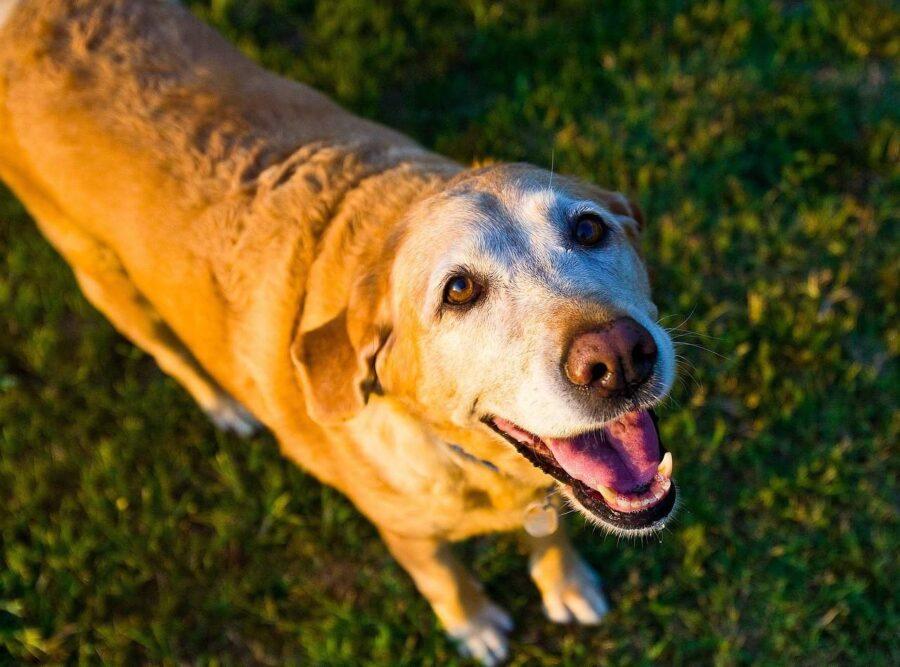 Happy old Labrador