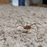 Are daddy long legs poisonous to dogs