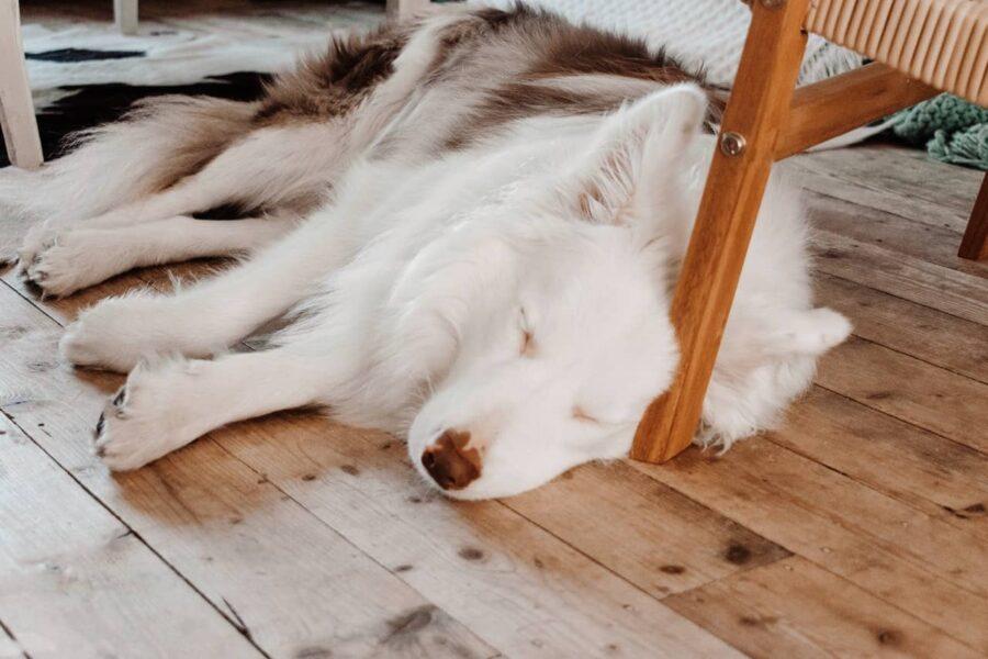 Long-haired white dog sleeping