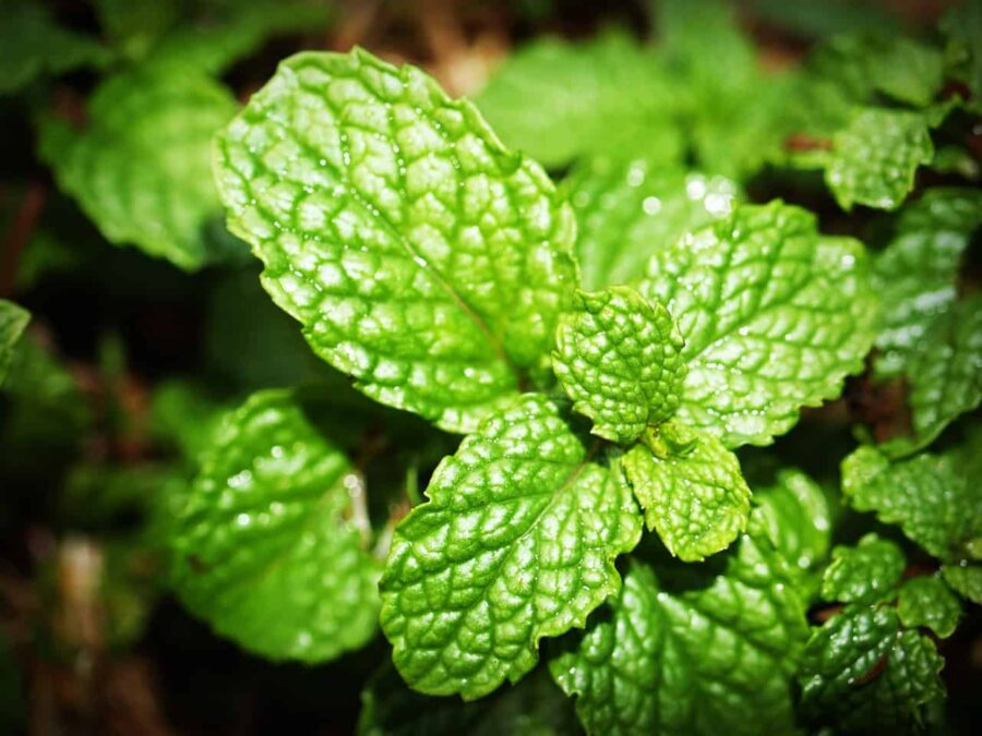Green peppermint plant leaf