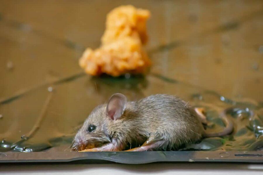 Rat stuck on glue board