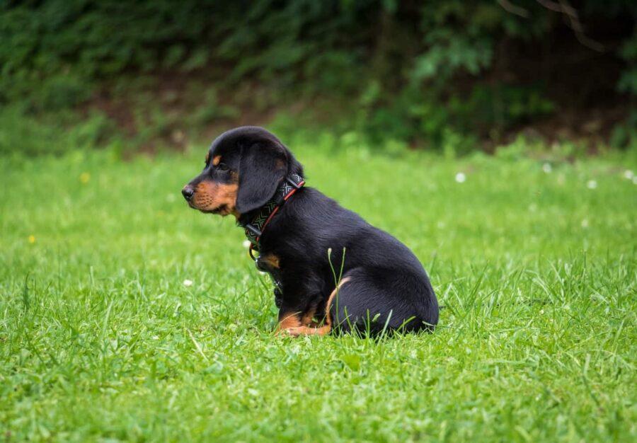 Rottweiler puppy sitting on grass
