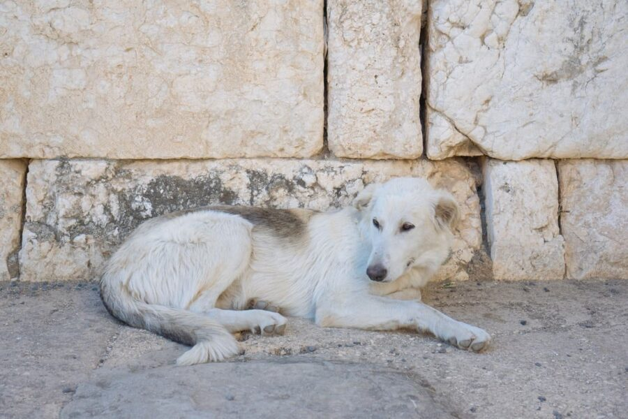 Short-coated white dog lying on concrete