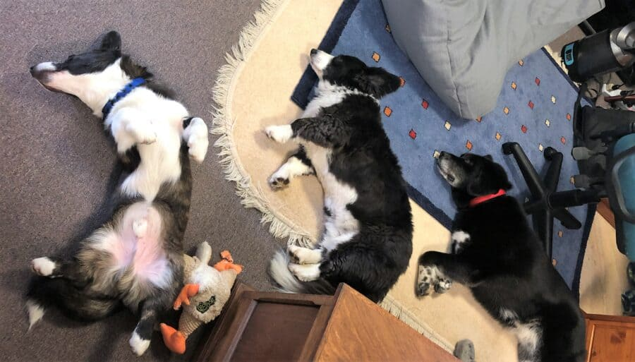 Three black and white dogs sleeping