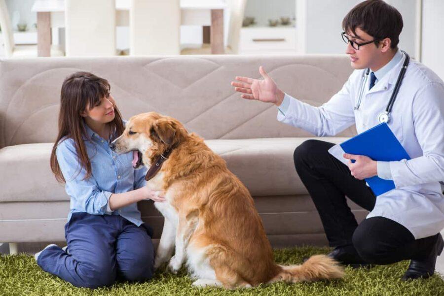 Vet doctor visiting golden retriever dog at home