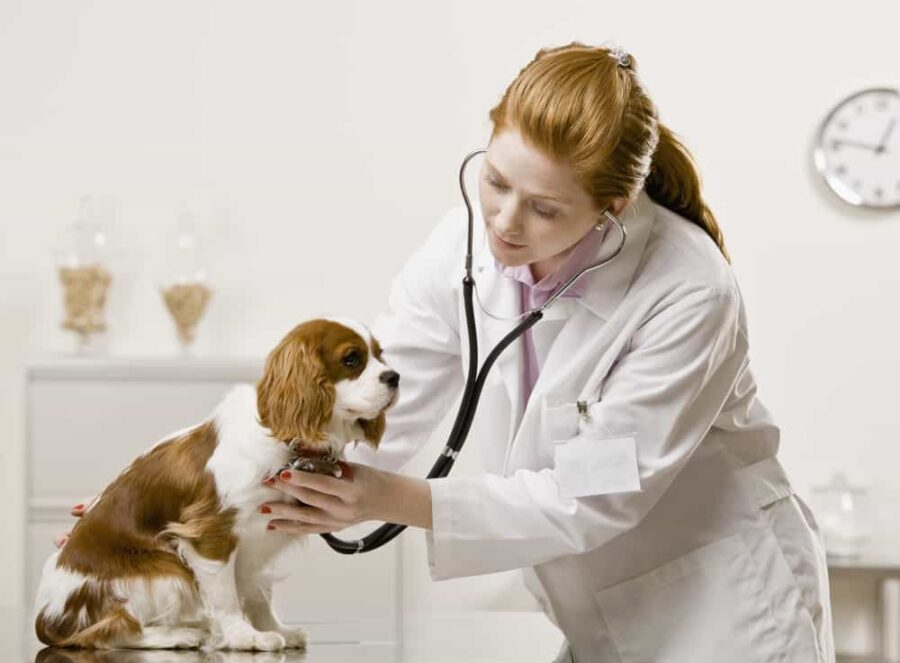Young female veterinarian examining dog.