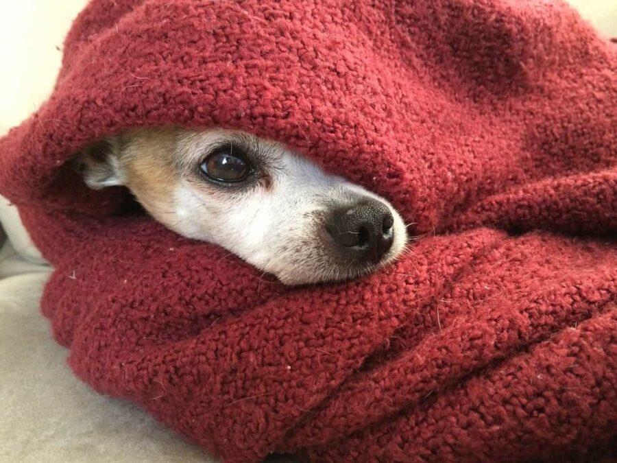 Dog hiding in red blanket