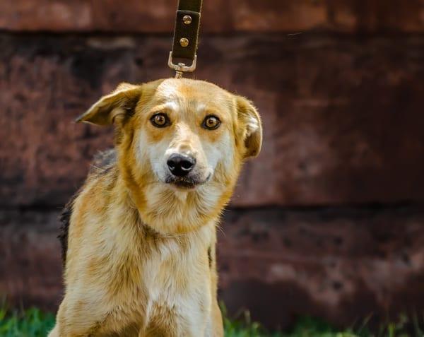 Dog on leash looking shocked