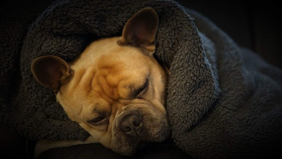 French bulldog wrapped in blankets sleeping