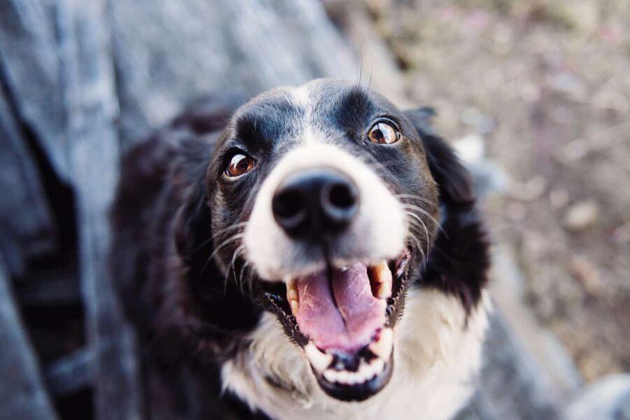 Happy border collie close up shot