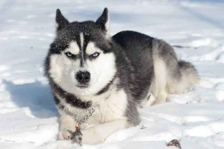 Husky scrunched face in the snow