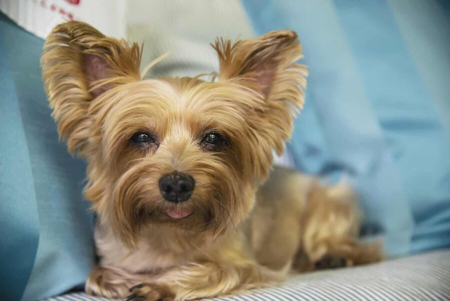 Yorkshire terrier tong out