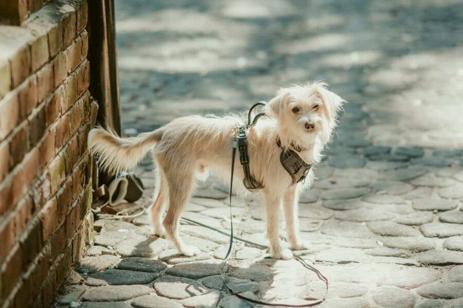 White dog leashed on street