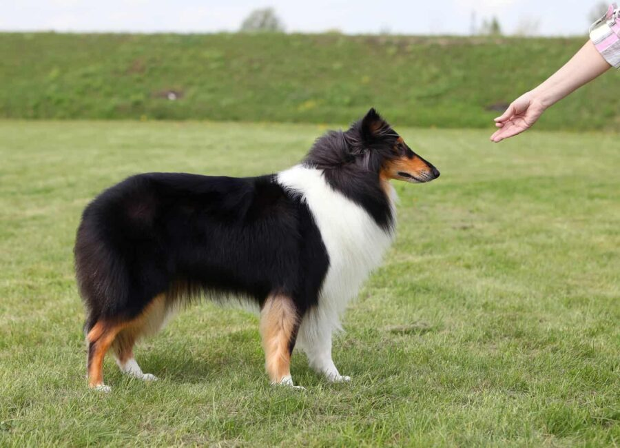 Woman training sheepdog