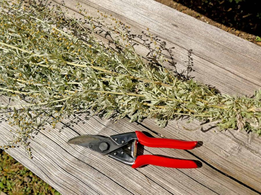 Bundle of wormwood herbs dried