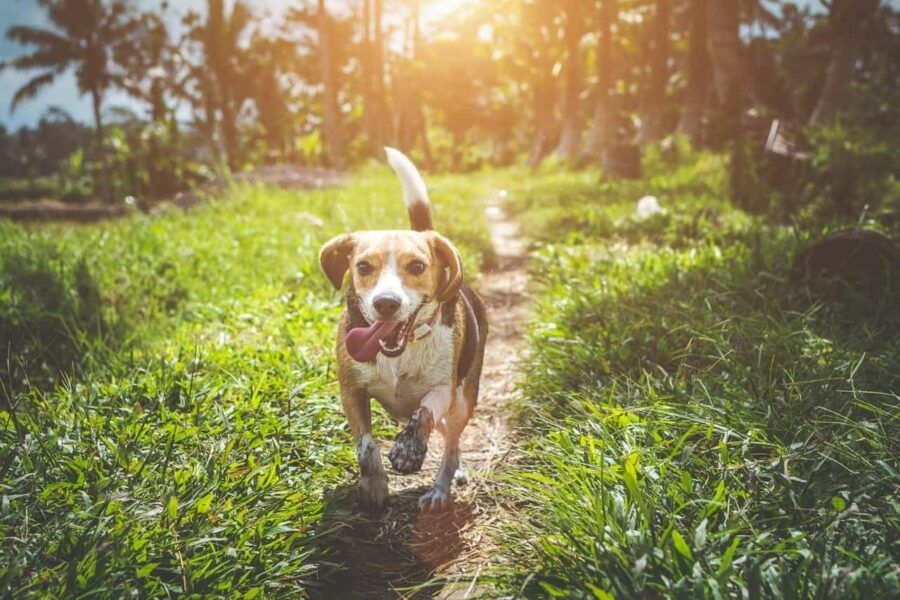 Happy beagle running on grass field