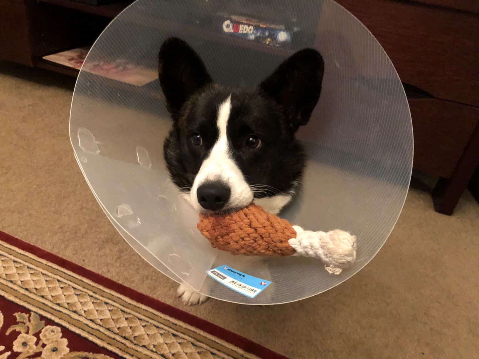 Olliver corgi puppy biting onto drumstick toy with E-collar on