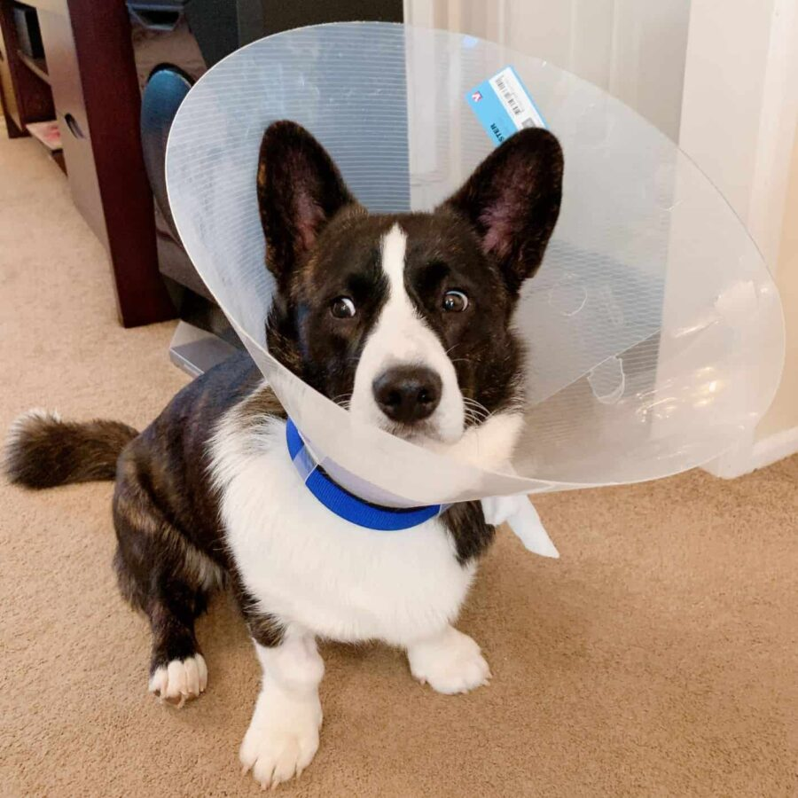 Olliver corgi puppy in his E-collar looking shocked