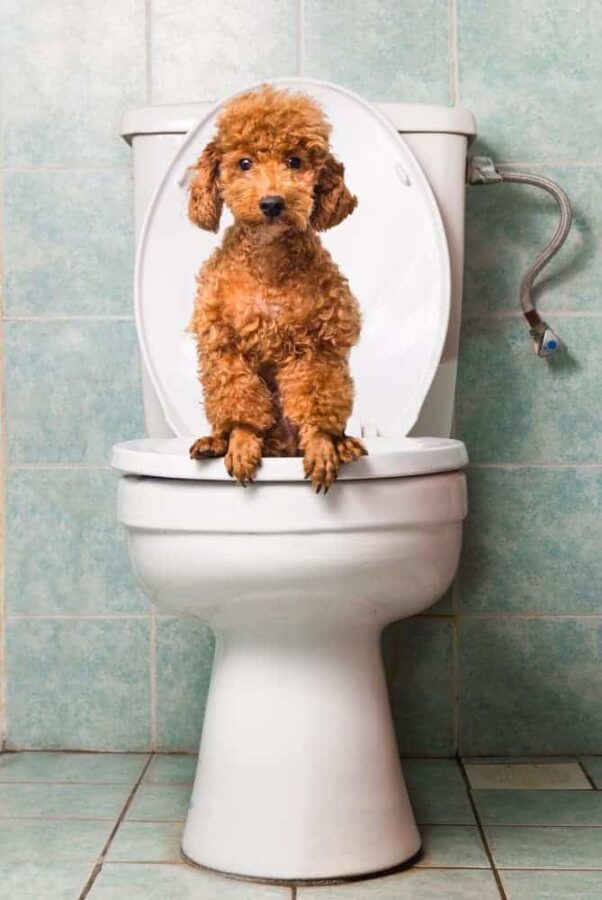 Poodle sitting on toilet