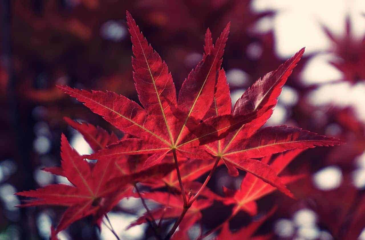 Are Japanese Maples poisonous to dogs