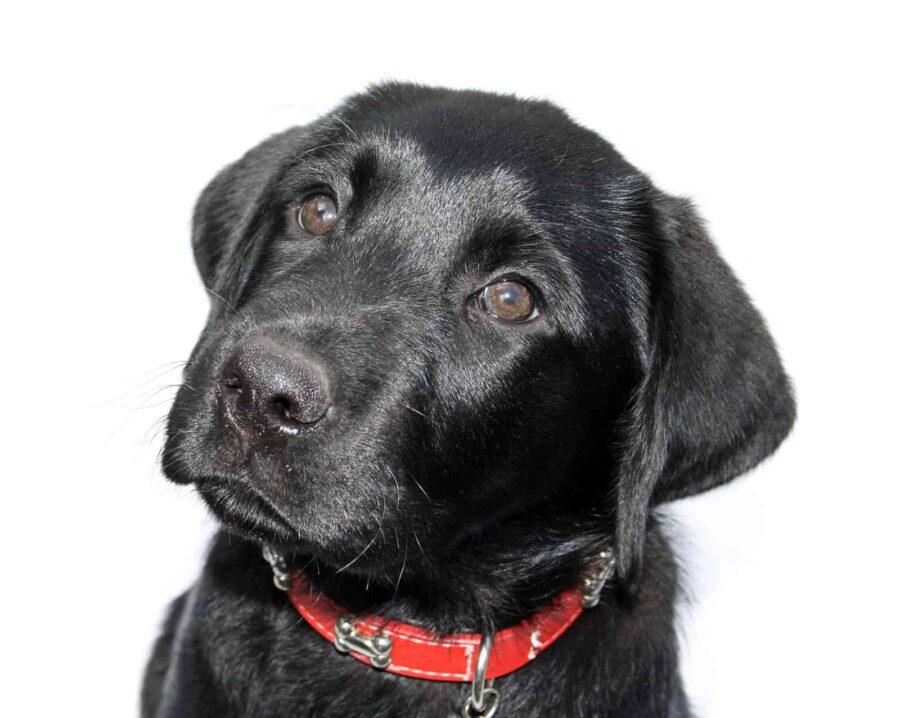 Black dog pleading eyes