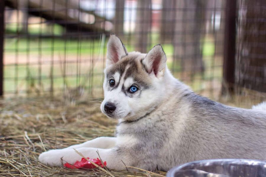 Close up of husky puppy in cage