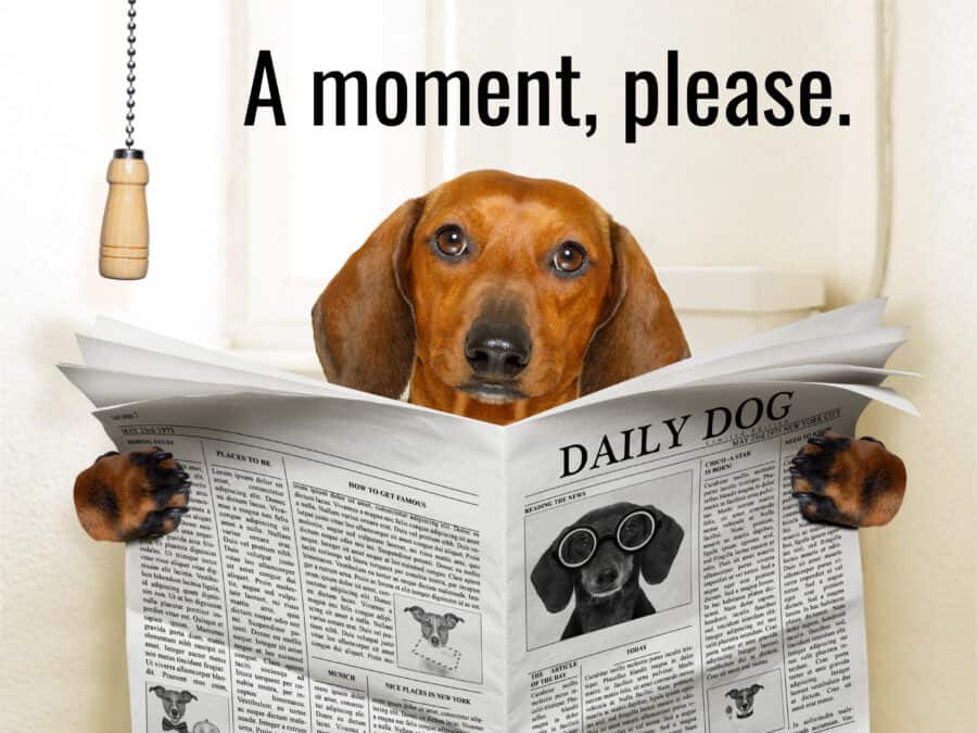 Dachshund on the toilet reading newspaper