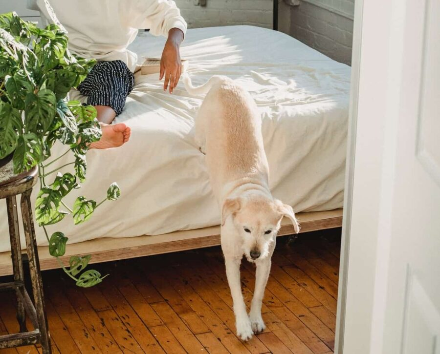 Dog jumping off bed