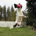 How high can a dog jump