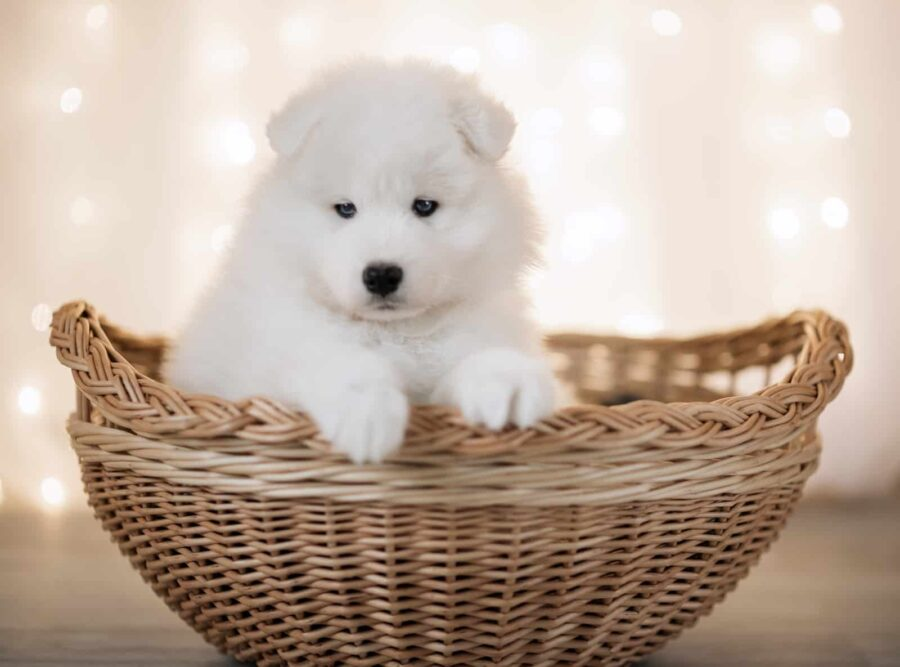 Grumpy-looking white Samoyed puppy