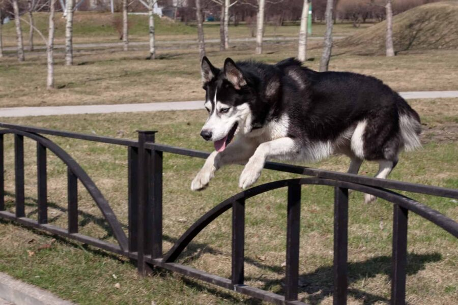 Husky jumping over fence