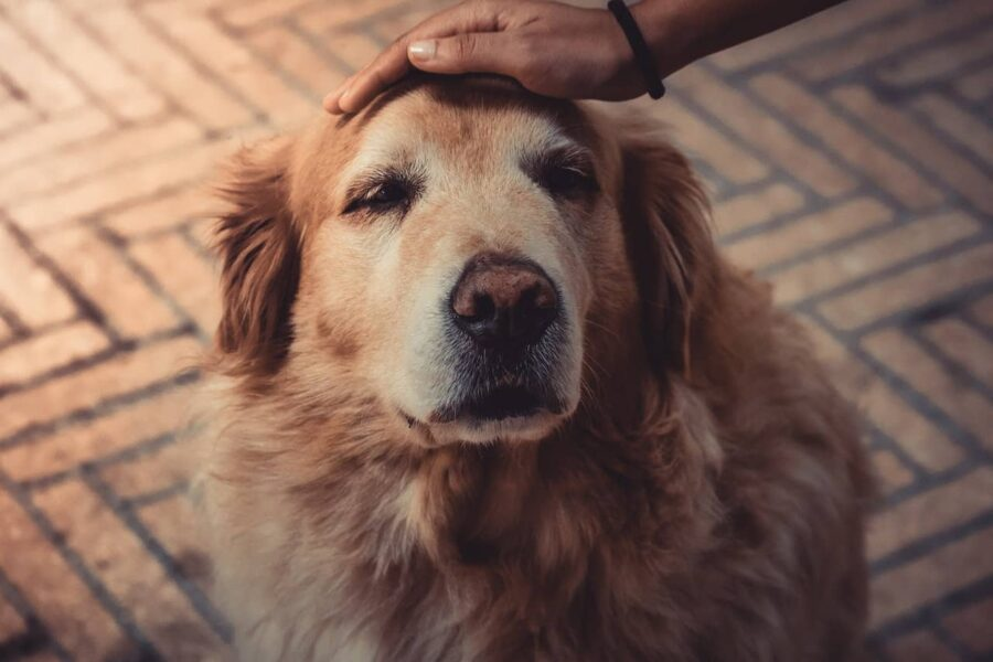 Petting old golden retriever on head