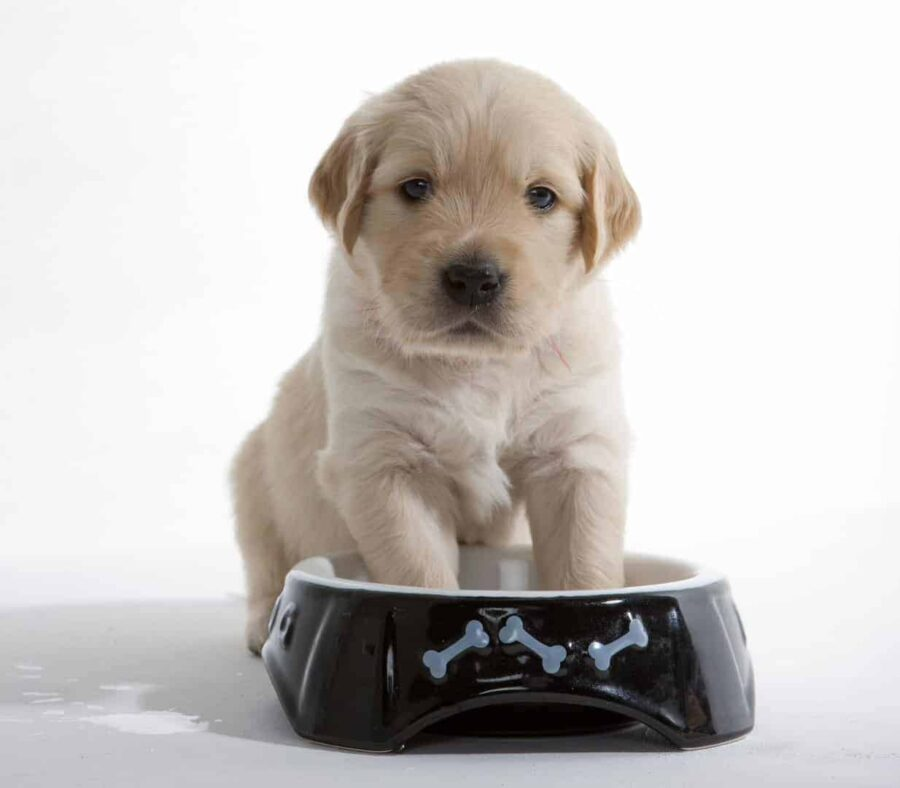 Golden retriever puppy sitting in its bowl