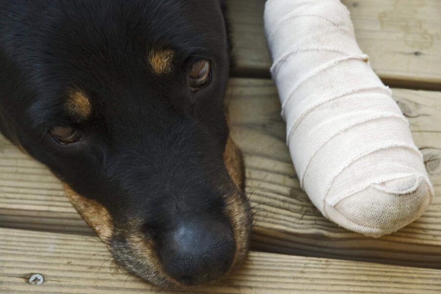Rottweiler with hurt paw