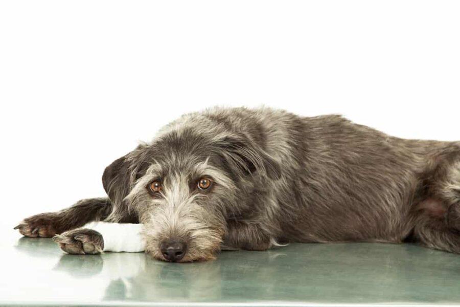Sad Dog With Injured Leg On Veterinarian Table