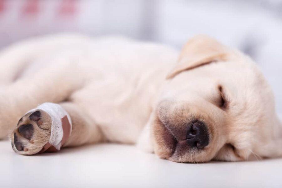 Sick injured Labrador puppy