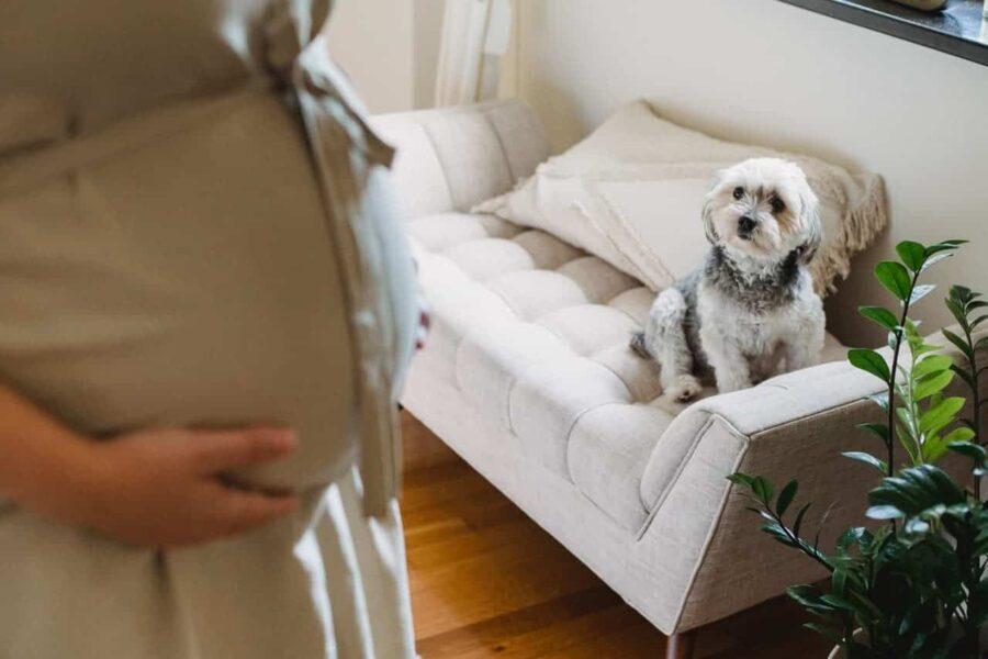 Small dog looking at pregnant woman