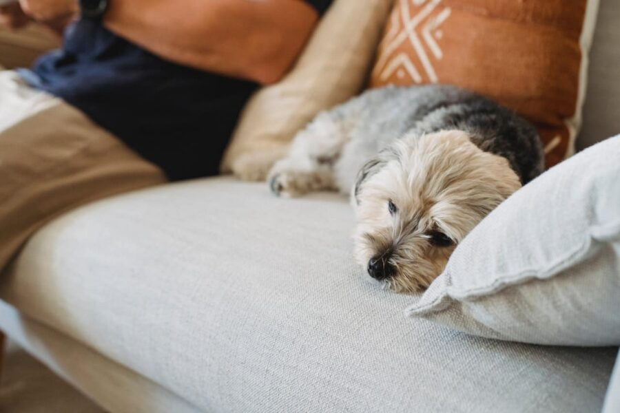 Terrier laying on sofa