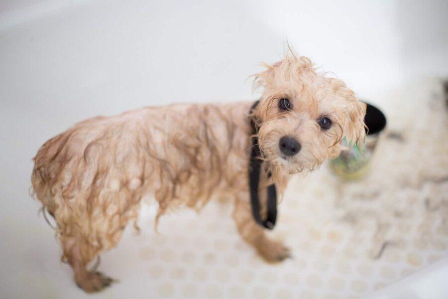 Toy poodle puppy in bathtub