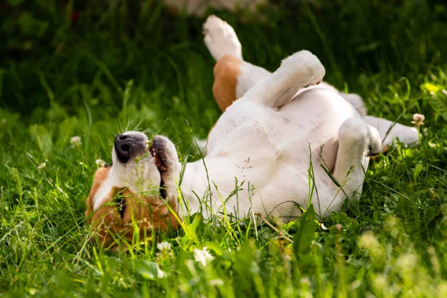Beagle rolling on grass