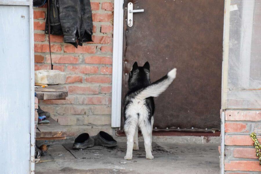 Young husky standing at door