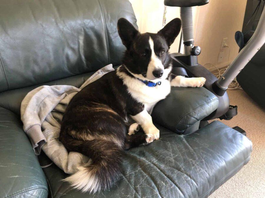 Olliver Corgi sitting on a sofa