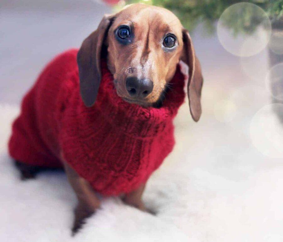 Dachshund wearing red sweater