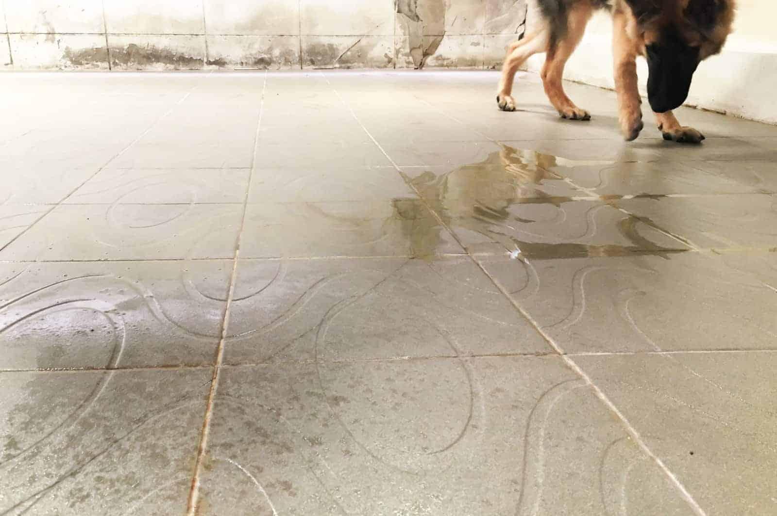 dog dribbling urine while walking