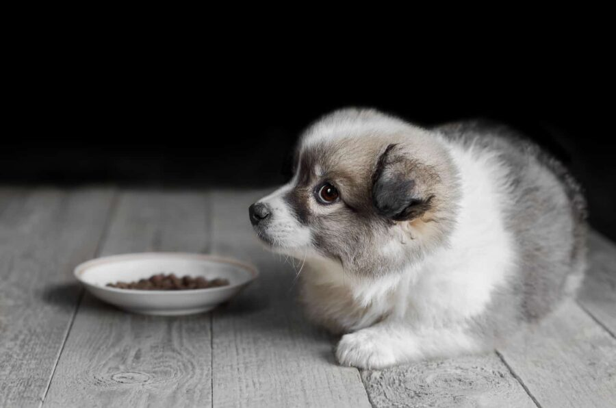 Little fluffy puppy lying next to plate of food